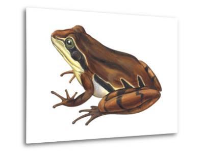 Chorus Frog (Pseudacris Ornata) , Amphibians-Encyclopaedia Britannica-Metal Print