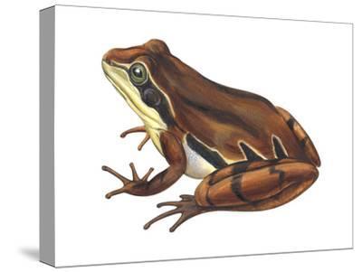 Chorus Frog (Pseudacris Ornata) , Amphibians-Encyclopaedia Britannica-Stretched Canvas Print