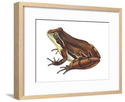 Chorus Frog (Pseudacris Ornata) , Amphibians-Encyclopaedia Britannica-Framed Art Print