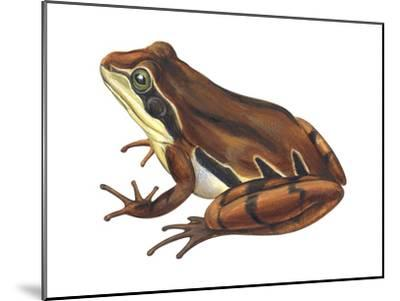 Chorus Frog (Pseudacris Ornata) , Amphibians-Encyclopaedia Britannica-Mounted Art Print