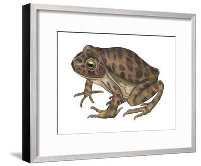 Barking Frog (Eleutherodactylus Latrans), Amphibians-Encyclopaedia Britannica-Framed Art Print