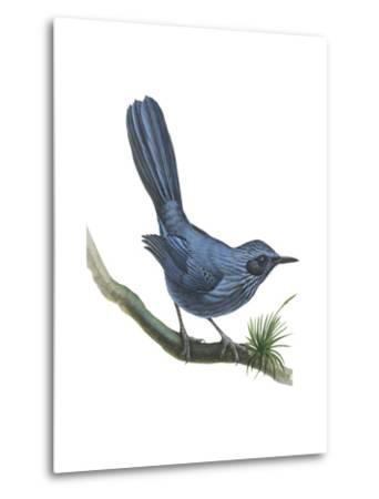 Blue Mockingbird (Melanotis Caerulescens), Birds-Encyclopaedia Britannica-Metal Print