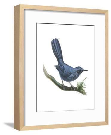 Blue Mockingbird (Melanotis Caerulescens), Birds-Encyclopaedia Britannica-Framed Art Print