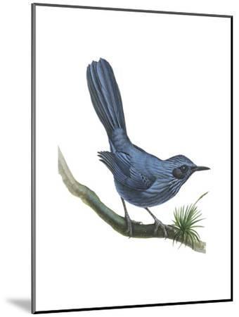 Blue Mockingbird (Melanotis Caerulescens), Birds-Encyclopaedia Britannica-Mounted Art Print