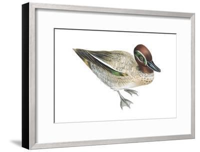 Green-Winged Teal (Anas Crecca), Duck, Birds-Encyclopaedia Britannica-Framed Art Print