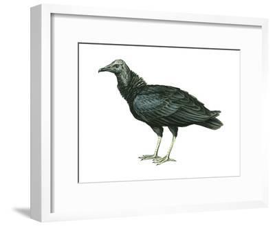 Black Vulture (Coragyps Atratus), Birds-Encyclopaedia Britannica-Framed Art Print