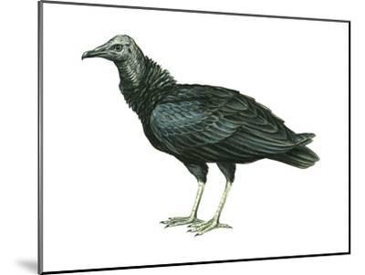 Black Vulture (Coragyps Atratus), Birds-Encyclopaedia Britannica-Mounted Art Print