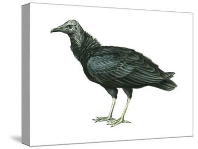 Black Vulture (Coragyps Atratus), Birds-Encyclopaedia Britannica-Stretched Canvas Print