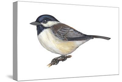 Carolina Chickadee (Parus Carolinensis), Birds-Encyclopaedia Britannica-Stretched Canvas Print