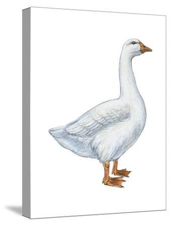 Domestic Goose (Anser Anser), Birds-Encyclopaedia Britannica-Stretched Canvas Print