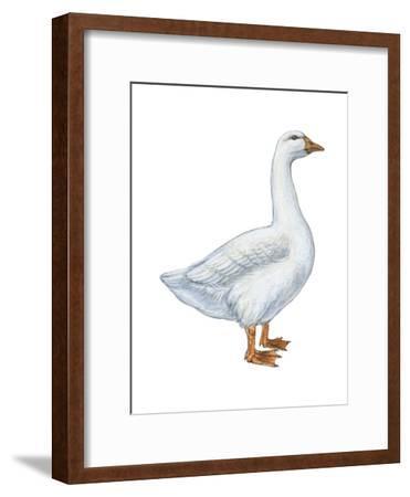 Domestic Goose (Anser Anser), Birds-Encyclopaedia Britannica-Framed Art Print