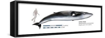 Minke Whale (Balaenoptera Acutorostrata), Mammals-Encyclopaedia Britannica-Framed Stretched Canvas Print