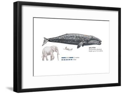 Gray Whale (Eschrichtius Robustus), Mammals-Encyclopaedia Britannica-Framed Art Print