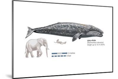 Gray Whale (Eschrichtius Robustus), Mammals-Encyclopaedia Britannica-Mounted Art Print
