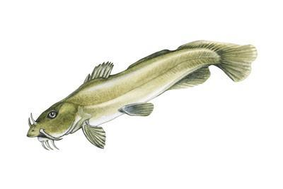 Stonecat (Noturus Flavus), Fishes-Encyclopaedia Britannica-Framed Art Print