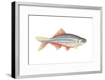 Giant Danio (Danio Malabaricus), Fishes-Encyclopaedia Britannica-Framed Art Print