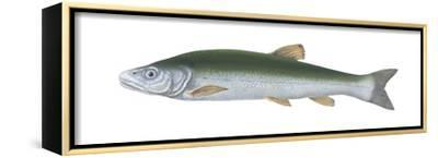 Squawfish (Ptychocheilus Grandis), Fishes-Encyclopaedia Britannica-Framed Stretched Canvas Print