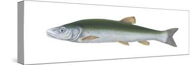 Squawfish (Ptychocheilus Grandis), Fishes-Encyclopaedia Britannica-Stretched Canvas Print