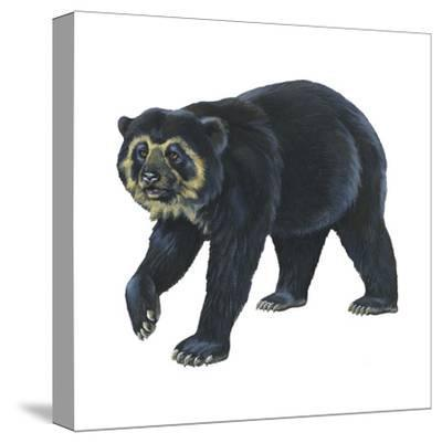 Spectacled Bear (Tremarctos Ornatus), Mammals-Encyclopaedia Britannica-Stretched Canvas Print