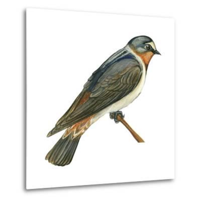 Cliff Swallow (Petrochelidon Pyrrhonota), Birds-Encyclopaedia Britannica-Metal Print