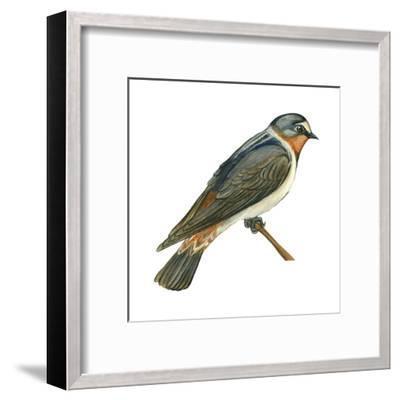 Cliff Swallow (Petrochelidon Pyrrhonota), Birds-Encyclopaedia Britannica-Framed Art Print