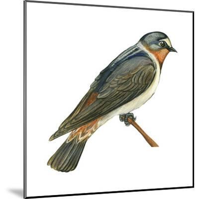Cliff Swallow (Petrochelidon Pyrrhonota), Birds-Encyclopaedia Britannica-Mounted Art Print