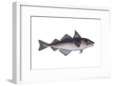 Haddock (Melanogrammus Aeglefinus), Fishes-Encyclopaedia Britannica-Framed Art Print