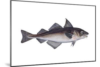 Haddock (Melanogrammus Aeglefinus), Fishes-Encyclopaedia Britannica-Mounted Art Print