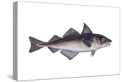 Haddock (Melanogrammus Aeglefinus), Fishes-Encyclopaedia Britannica-Stretched Canvas Print