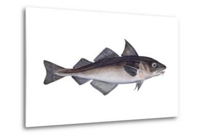 Haddock (Melanogrammus Aeglefinus), Fishes-Encyclopaedia Britannica-Metal Print
