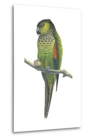 Rock Parakeet (Pyrrhura Rupicola), Birds-Encyclopaedia Britannica-Metal Print