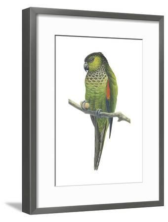 Rock Parakeet (Pyrrhura Rupicola), Birds-Encyclopaedia Britannica-Framed Art Print