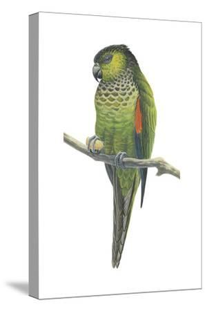 Rock Parakeet (Pyrrhura Rupicola), Birds-Encyclopaedia Britannica-Stretched Canvas Print