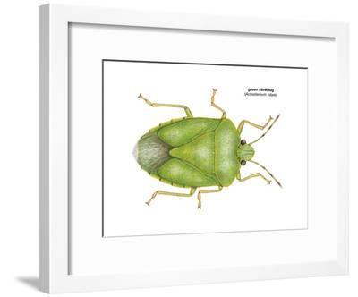 Green Stinkbug (Acrosternum Hilare), Insects-Encyclopaedia Britannica-Framed Art Print