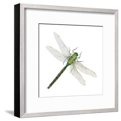Green Darner - Female (Anax Junius), Dragonfly, Insects-Encyclopaedia Britannica-Framed Art Print