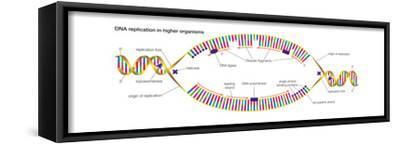 Dna Replication in Higher Organisms Begins at Multiple Origins and Progresses in Two Directions-Encyclopaedia Britannica-Framed Stretched Canvas Print