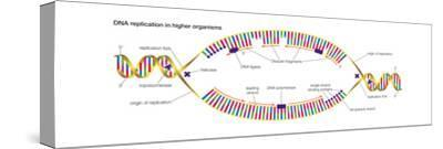 Dna Replication in Higher Organisms Begins at Multiple Origins and Progresses in Two Directions-Encyclopaedia Britannica-Stretched Canvas Print