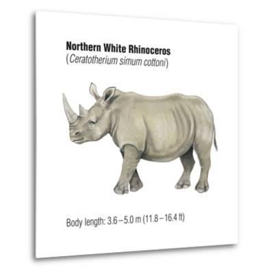 Northern White Rhinoceros (Ceratotherium Simum Cottoni), Mammals-Encyclopaedia Britannica-Metal Print