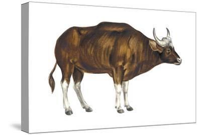 Wild Cattle, Gaur (Bos Gaurus), Mammals-Encyclopaedia Britannica-Stretched Canvas Print