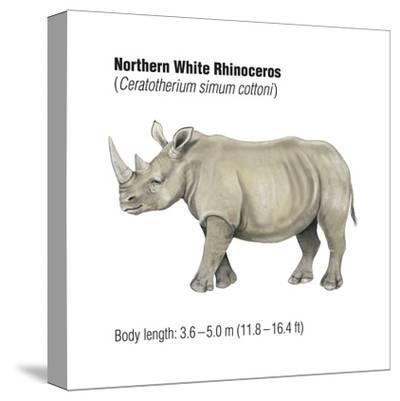 Northern White Rhinoceros (Ceratotherium Simum Cottoni), Mammals-Encyclopaedia Britannica-Stretched Canvas Print