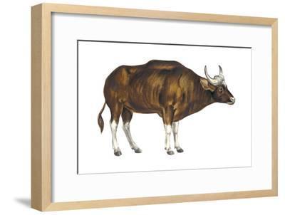 Wild Cattle, Gaur (Bos Gaurus), Mammals-Encyclopaedia Britannica-Framed Art Print