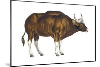 Wild Cattle, Gaur (Bos Gaurus), Mammals-Encyclopaedia Britannica-Mounted Art Print