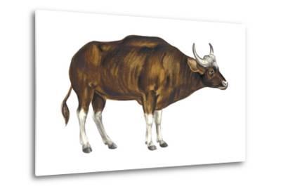 Wild Cattle, Gaur (Bos Gaurus), Mammals-Encyclopaedia Britannica-Metal Print