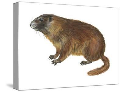 Yellow-Bellied Marmot (Marmota Flaviventris), Mammals-Encyclopaedia Britannica-Stretched Canvas Print