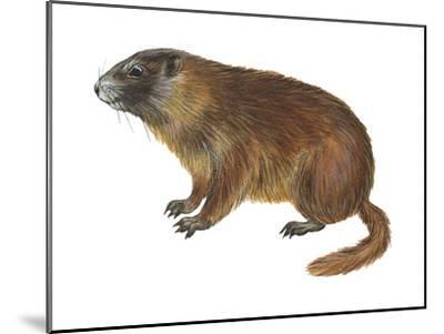 Yellow-Bellied Marmot (Marmota Flaviventris), Mammals-Encyclopaedia Britannica-Mounted Art Print