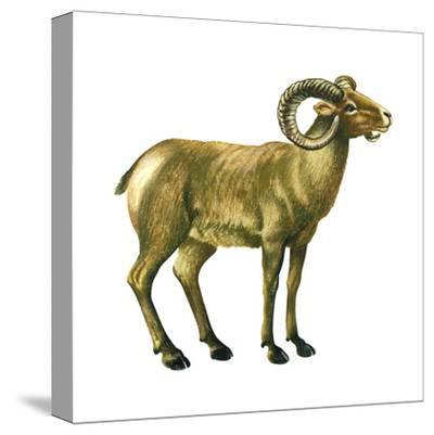 Wild Sheep (Ovis Canadensis), Mammals-Encyclopaedia Britannica-Stretched Canvas Print
