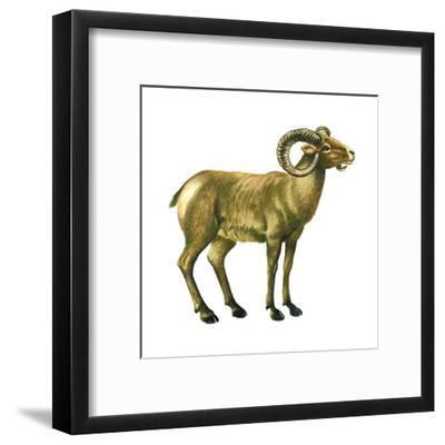 Wild Sheep (Ovis Canadensis), Mammals-Encyclopaedia Britannica-Framed Art Print