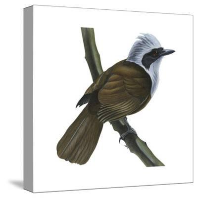 White-Crested Laughing Thrush (Garrulax Leucolophus), Birds-Encyclopaedia Britannica-Stretched Canvas Print