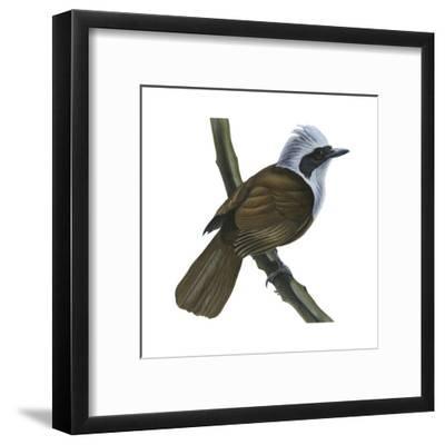 White-Crested Laughing Thrush (Garrulax Leucolophus), Birds-Encyclopaedia Britannica-Framed Art Print