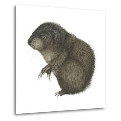 Mountain Beaver (Aplodontia Rufa), Mammals-Encyclopaedia Britannica-Metal Print